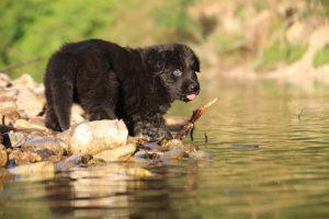 altdeutsche-shaferhunde-comme-chiens-et-loups0026