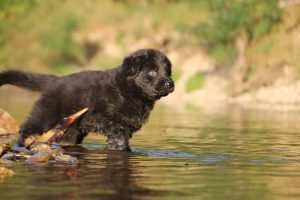 altdeutsche-shaferhunde-comme-chiens-et-loups0029