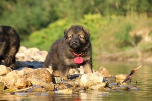 altdeutsche-shaferhunde-comme-chiens-et-loups0037