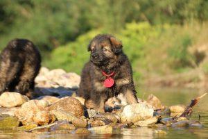 altdeutsche-shaferhunde-comme-chiens-et-loups0038