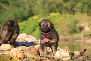 altdeutsche-shaferhunde-comme-chiens-et-loups0039