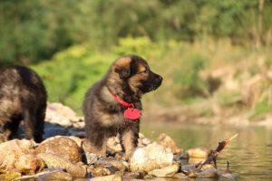 altdeutsche-shaferhunde-comme-chiens-et-loups0041
