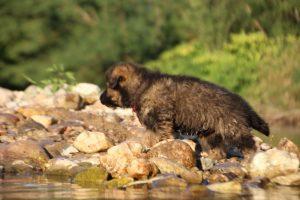 altdeutsche-shaferhunde-comme-chiens-et-loups0043