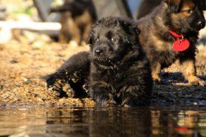altdeutsche-shaferhunde-comme-chiens-et-loups0049
