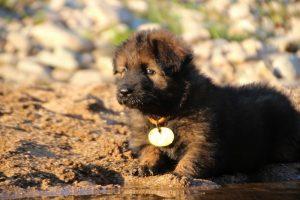 altdeutsche-shaferhunde-comme-chiens-et-loups0051