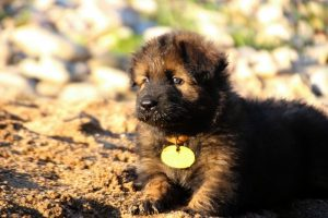 altdeutsche-shaferhunde-comme-chiens-et-loups0052