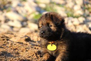 altdeutsche-shaferhunde-comme-chiens-et-loups0053