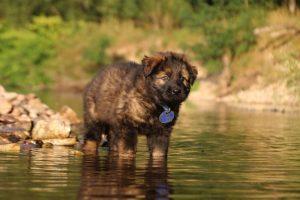 altdeutsche-shaferhunde-comme-chiens-et-loups0054
