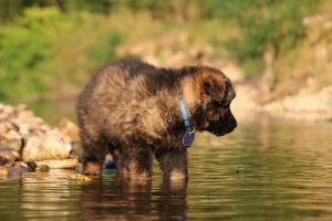altdeutsche-shaferhunde-comme-chiens-et-loups0055