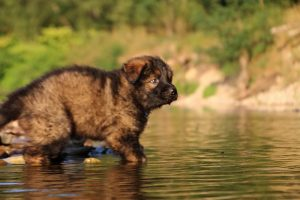 altdeutsche-shaferhunde-comme-chiens-et-loups0056