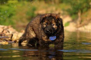 altdeutsche-shaferhunde-comme-chiens-et-loups0057