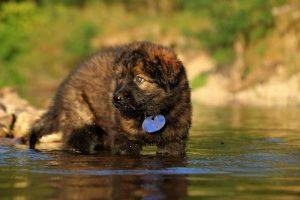 altdeutsche-shaferhunde-comme-chiens-et-loups0058