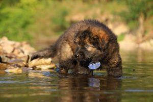 altdeutsche-shaferhunde-comme-chiens-et-loups0060