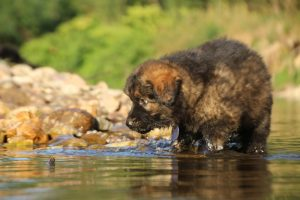 altdeutsche-shaferhunde-comme-chiens-et-loups0063