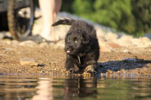 altdeutsche-shaferhunde-comme-chiens-et-loups0066
