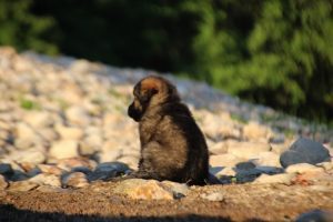altdeutsche-shaferhunde-comme-chiens-et-loups0067