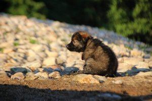 altdeutsche-shaferhunde-comme-chiens-et-loups0068