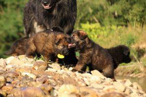 altdeutsche-shaferhunde-comme-chiens-et-loups0069