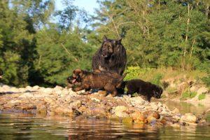 altdeutsche-shaferhunde-comme-chiens-et-loups0070