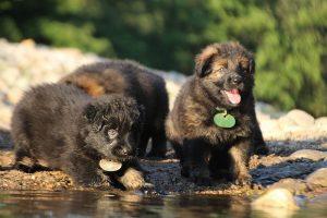 altdeutsche-shaferhunde-comme-chiens-et-loups0074