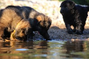 altdeutsche-shaferhunde-comme-chiens-et-loups0077