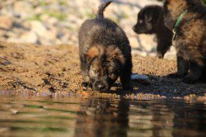 altdeutsche-shaferhunde-comme-chiens-et-loups0081