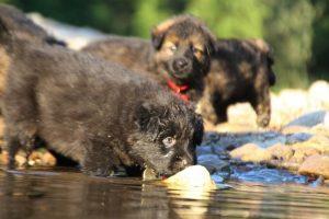 altdeutsche-shaferhunde-comme-chiens-et-loups0085