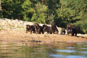 altdeutsche-shaferhunde-comme-chiens-et-loups0089