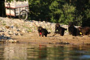 altdeutsche-shaferhunde-comme-chiens-et-loups0090