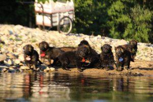 altdeutsche-shaferhunde-comme-chiens-et-loups0091