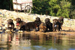 altdeutsche-shaferhunde-comme-chiens-et-loups0092