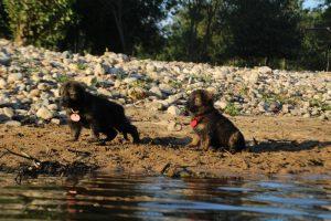 altdeutsche-shaferhunde-comme-chiens-et-loups0094