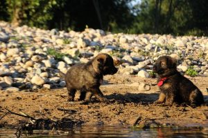 altdeutsche-shaferhunde-comme-chiens-et-loups0095