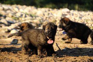 altdeutsche-shaferhunde-comme-chiens-et-loups0096