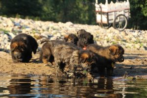 altdeutsche-shaferhunde-comme-chiens-et-loups0097