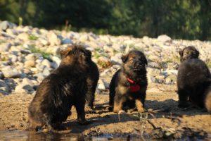 altdeutsche-shaferhunde-comme-chiens-et-loups0099