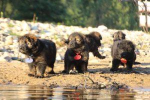 altdeutsche-shaferhunde-comme-chiens-et-loups0100