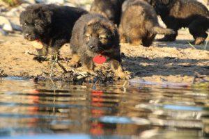 altdeutsche-shaferhunde-comme-chiens-et-loups0101