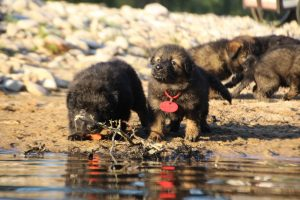 altdeutsche-shaferhunde-comme-chiens-et-loups0102