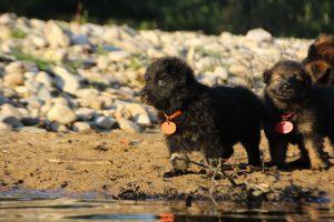 altdeutsche-shaferhunde-comme-chiens-et-loups0103
