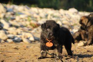 altdeutsche-shaferhunde-comme-chiens-et-loups0104