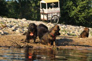 altdeutsche-shaferhunde-comme-chiens-et-loups0105