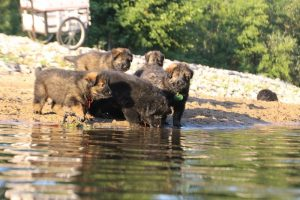 altdeutsche-shaferhunde-comme-chiens-et-loups0106