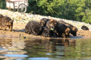 altdeutsche-shaferhunde-comme-chiens-et-loups0107