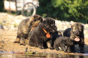 altdeutsche-shaferhunde-comme-chiens-et-loups0109
