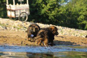 altdeutsche-shaferhunde-comme-chiens-et-loups0110