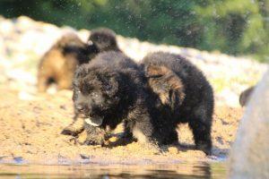 altdeutsche-shaferhunde-comme-chiens-et-loups0111