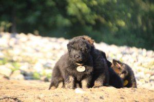 altdeutsche-shaferhunde-comme-chiens-et-loups0112