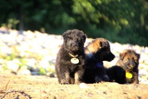 altdeutsche-shaferhunde-comme-chiens-et-loups0113