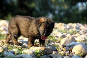 altdeutsche-shaferhunde-comme-chiens-et-loups0115